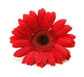 Květina na bílém pozadí — Stock fotografie