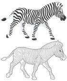 Zebra walking — Stock Photo