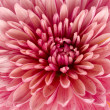 Pink chrysanthemum — Stock Photo #10606579