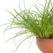 Stock Photo: Grass pot