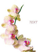 Orchid isolated on a white — Stock Photo