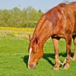 A brown horse grazing — Stock Photo