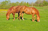 Deux chevaux bruns paissant — Photo
