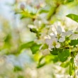 Soft-focus close-up of apple blossom - Stock Photo