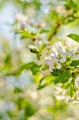 Soft-focus close-up of apple blossom — Stock Photo