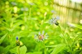 Cornflowers in the garden — Stock Photo