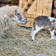 Stock Photo: Ewe and small lamb