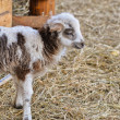 A small lamb — Stock Photo