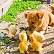 Funny puppy with small chickens - Stock Photo