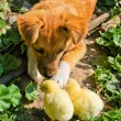Funny puppy with small chickens — Stock Photo #9886570