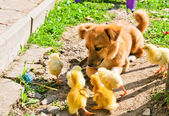 Funny puppy with small chickens — Zdjęcie stockowe