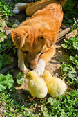 Funny puppy with small chickens — Stock Photo