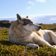 Eskimo dog basking in the sun — Stock Photo