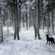 Black dog walking in winter forest — Stock fotografie