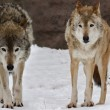 Stock Photo: Two wolfs on snow landscape