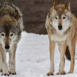 Two wolfs on the snow landscape — Stock fotografie