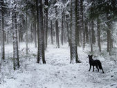 Black dog walking in winter forest — Zdjęcie stockowe