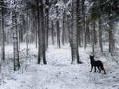 Cão preto andando na floresta de inverno — Foto Stock