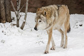 Wolf in winter — Stock Photo