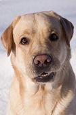 Labrador — Stock Photo