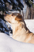 Labrador hunting in a winter snow — Stock Photo