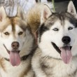 Two siberian husky — Stock Photo