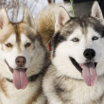 Two siberian husky — Stock Photo #9044832