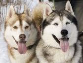 Two siberian husky — Stock Photo