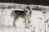 Siberian husky in a steppe landscape — Stock Photo