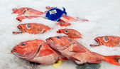 Pacific red snapper on ice — Stock Photo