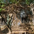Stock Photo: Banytrees in Beng Mealetemple, Cambodia
