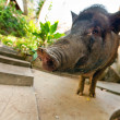 Curious vietnamese pig near bungalow - Stock Photo