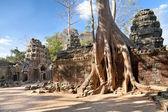 Banyan trees on ruins — Stock Photo