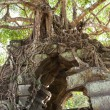 Banyan trees on ruins - Stock Photo