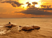 Three dolphins playing in the sunset sea — Stock Photo