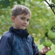 Stock Photo: Boy gathering apples in garden