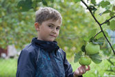 Boy gathering apples in the garden — Stock Photo
