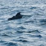 Pilot whale — Stock Photo #9959805