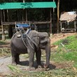 ������, ������: Good trained elephant for tourists