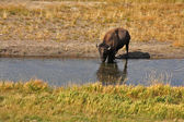 Bison in Yellowstone national park — Stock Photo