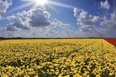 Solar day in fields buttercups — Stock Photo