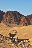 The goat in stone desert.The mountains of Eilat — Stock Photo