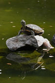 Hand turtle on a rock — Stock Photo