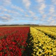 A field of red and yellow ranunculus — Stock Photo #7994499