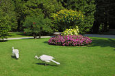 Two white peacocks — Stock Photo