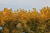 The yellow leaves — Stock Photo