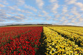 A field of red and yellow ranunculus — Stock Photo