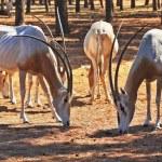 ������, ������: A herd of wild goats
