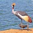 Elegant bird lives near bodies of water — ストック写真