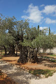 Thousand-year olive trees in Gethsemane — Stock Photo